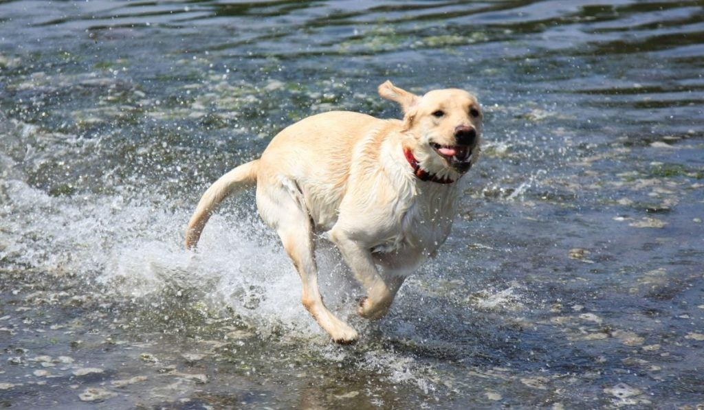 dog running in the sea