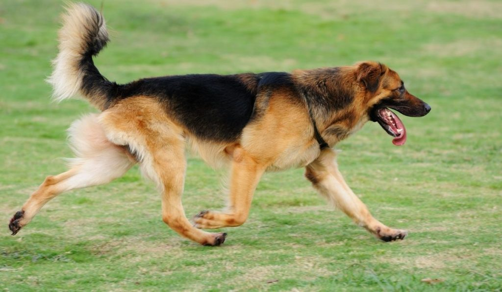 dog running with tongue out