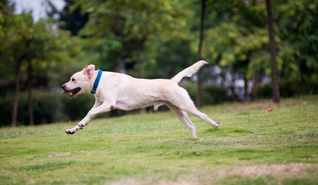 white dog running on the field